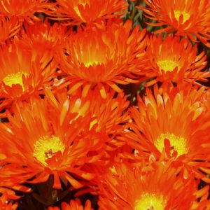 Mesembryanthemum Orange (Common Name – Pig Face) 125mm Pot