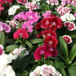 Dianthus 125mm Pot