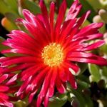 Mesembryanthemum Red