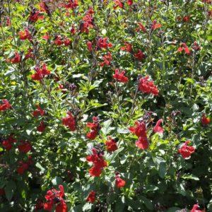 Salvia Mesa Scarlet