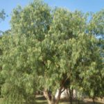Schinus Molle (Common Name – Pepper Tree)175mm Pot