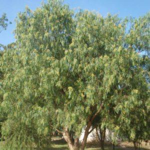 Schinus Molle (Common Name – Pepper Tree)175mm Pot