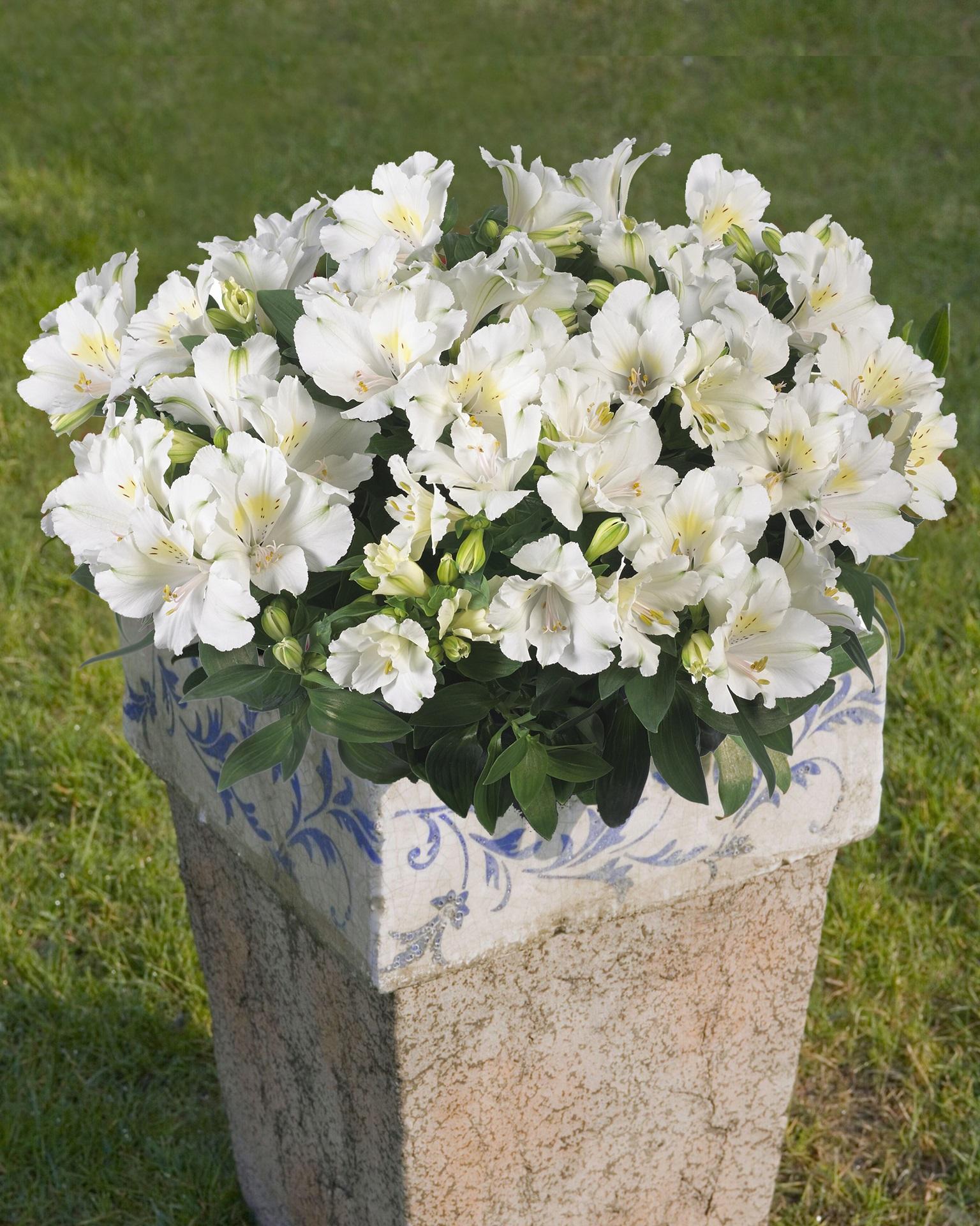 Alstroemeria Claire Common Name Princess Lily 175mm Pot
