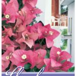 Bougainvillea Pink Clusters