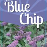 Buddleia Blue Chip