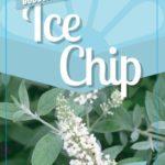 Buddleia Ice Chip