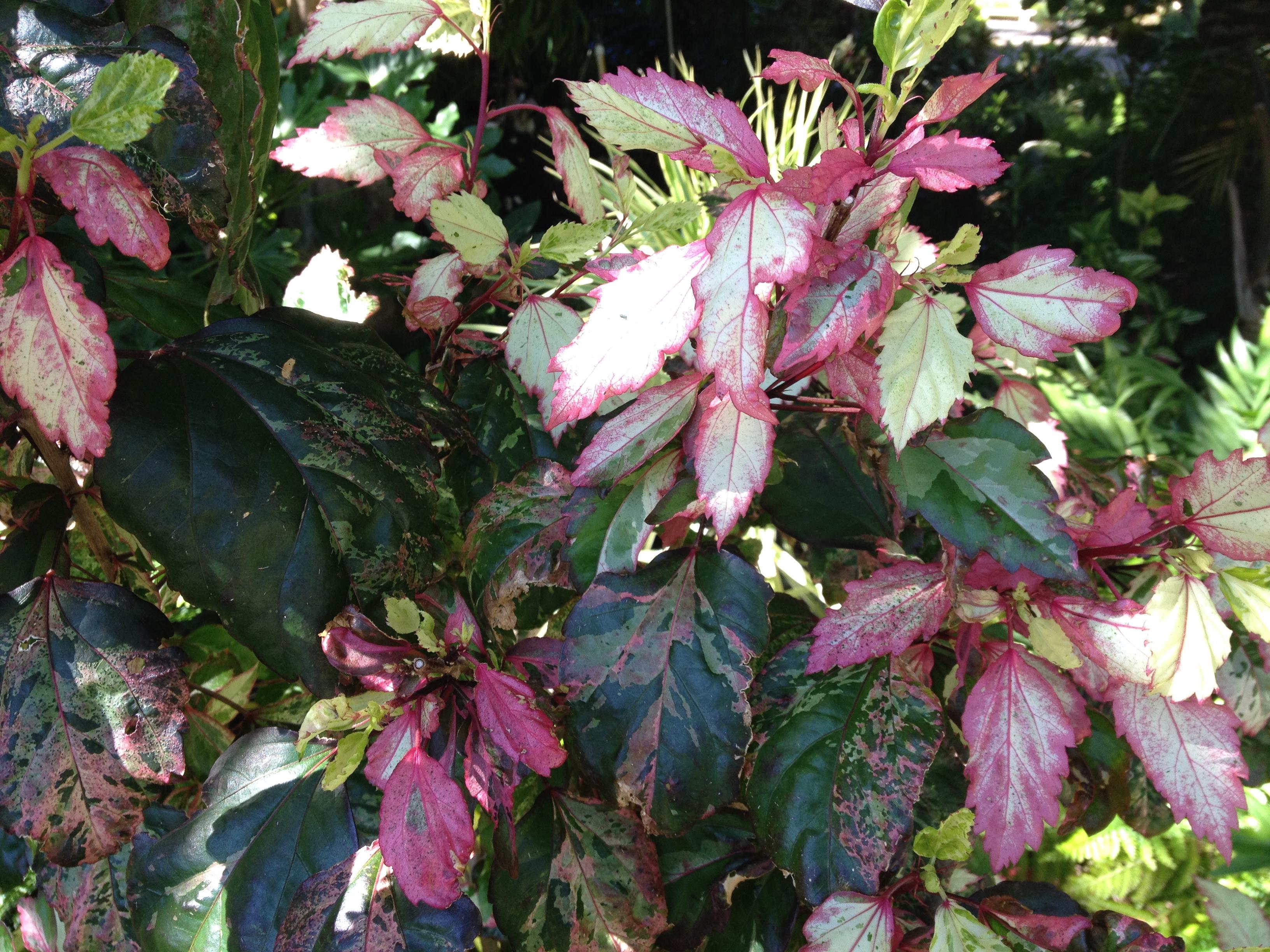 Hibiscus Product Categories Dawsons Garden World