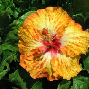 Hibiscus Lady Cilento