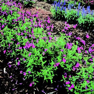 Salvia Mesa Rose - Garden