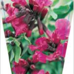 Salvia Pink Raspberry Royal