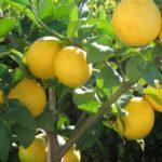 lemon lemonicous
