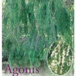 Agonis flexuosa