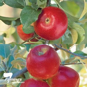 Crimson Crisp Pixie Crunch
