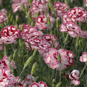 Dianthus Angel of Forgiveness