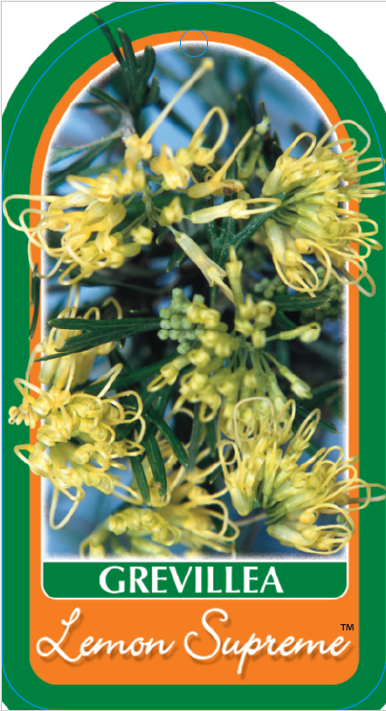 Grevillea Lemon Supreme Common Name Lemon Grevillea