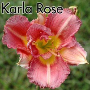 Hemerocallis Karla Rose