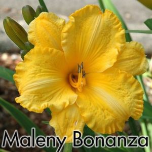Hemerocallis Malaney Bonanza