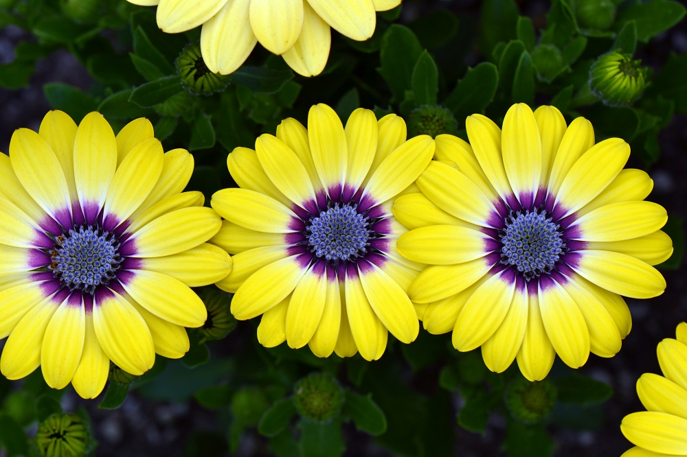 Osteospermum Blue Eyed Beauty 150mm Pot Dawsons Garden World