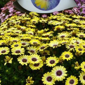 Osteo Blue Eyed Beauty Gdn ..