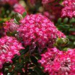 Pimelea Pink Solitaire