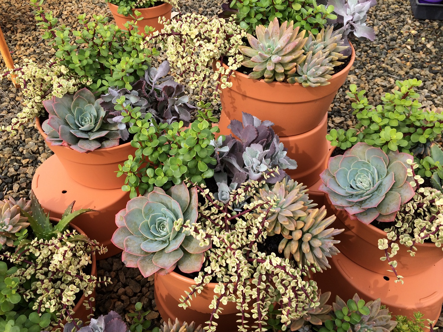 Dawsons Succulent Bowl Common Name Hardy Succulents