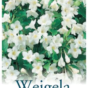Weigela florida alba