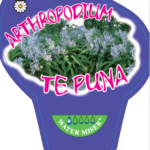 Arthropodium Te Puna