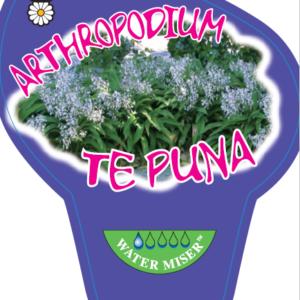 Arthropodium Te Puna