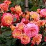 Floribunda Garden Delight