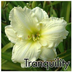 Hemerocallis Tranquillity