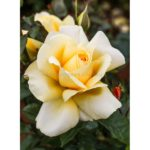 Hybrid Tea Winter Sun
