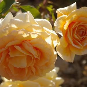 SAS Golden Jubilee Rose