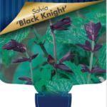 Salvia Black Knight