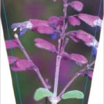 Salvia semiatrata