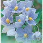 Solanum laxum Blue