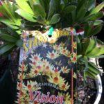 Leucadendron  Vision