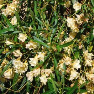 Nerium Luteum Plenum