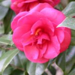 camellia-japonica-ace-of-hearts-1