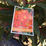 Eucalyptus Ficifolia Muchea Red