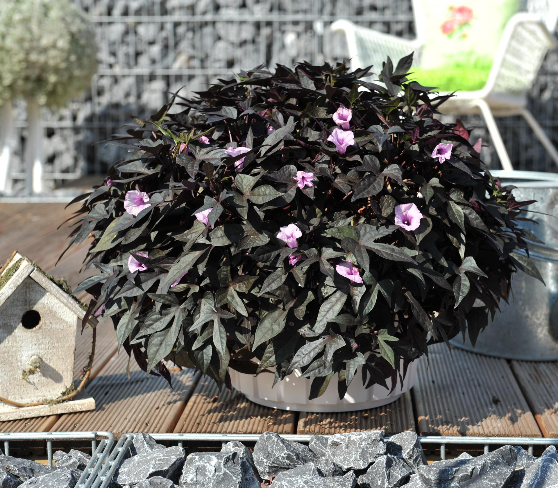 Ipomoea Bright Ideas Nero Common Name Ornamental Sweet