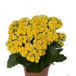Calandiva Brazil Yellow