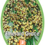 lomandra-emerald-grace