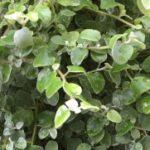 Helichrysum Licorice