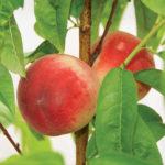 White_Opal_Peach