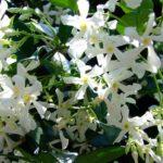trachelospermum-jasminoide
