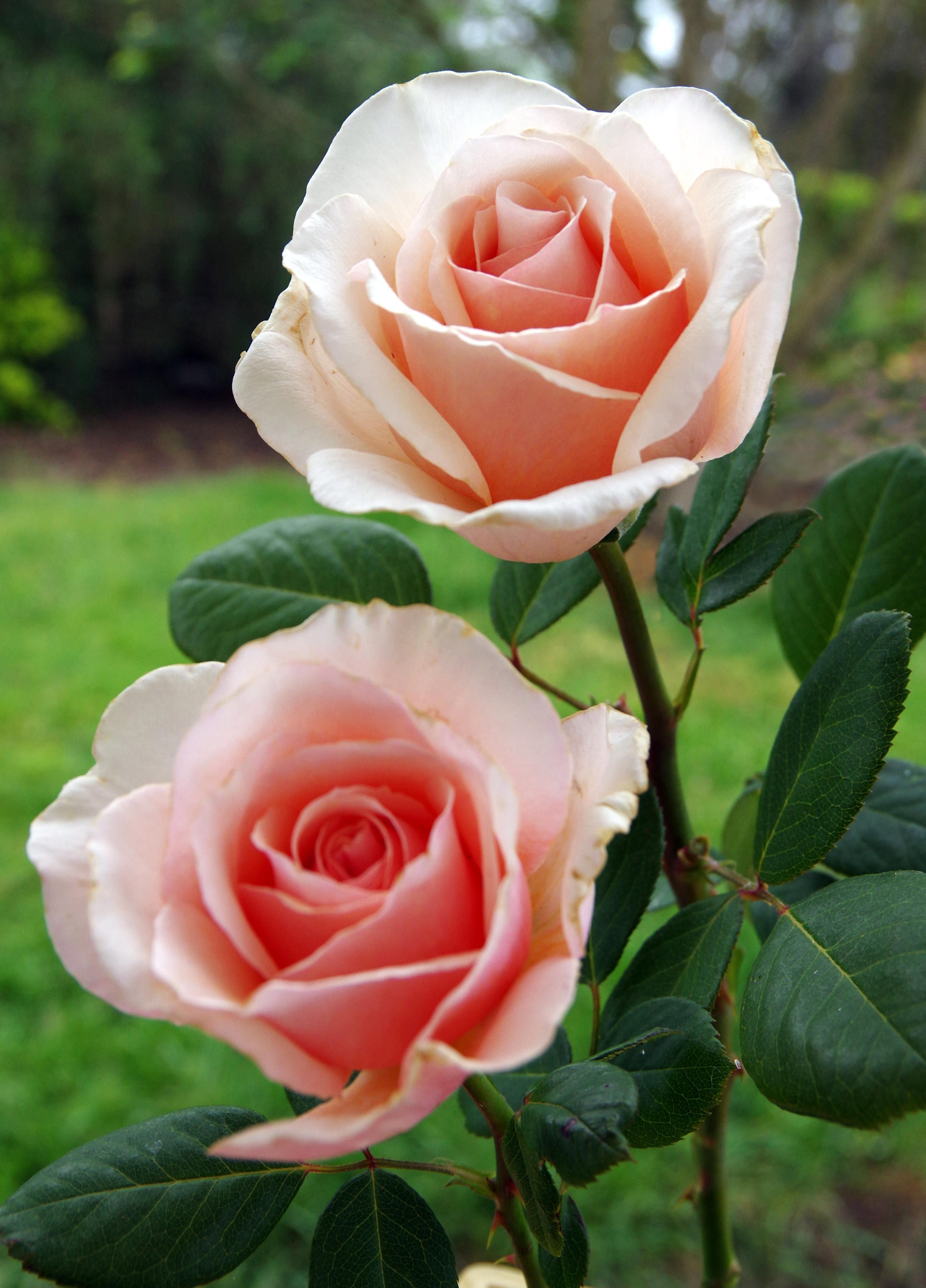 long stemmed rose hybrid tea shirley s rose 175mm pot dawsons