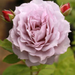 Purple-Mauve Roses