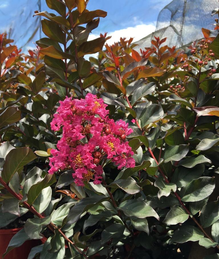 lagerstroemia plum magic 250mm pot dawsons garden world