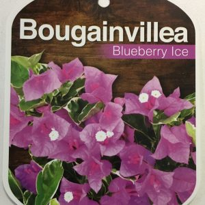 Bougainvillea Blueberry Ice