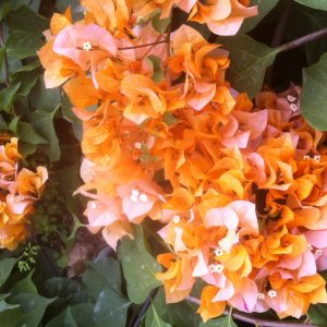 Bougainvillea California Gold